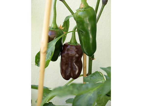 Paprika-braun-1